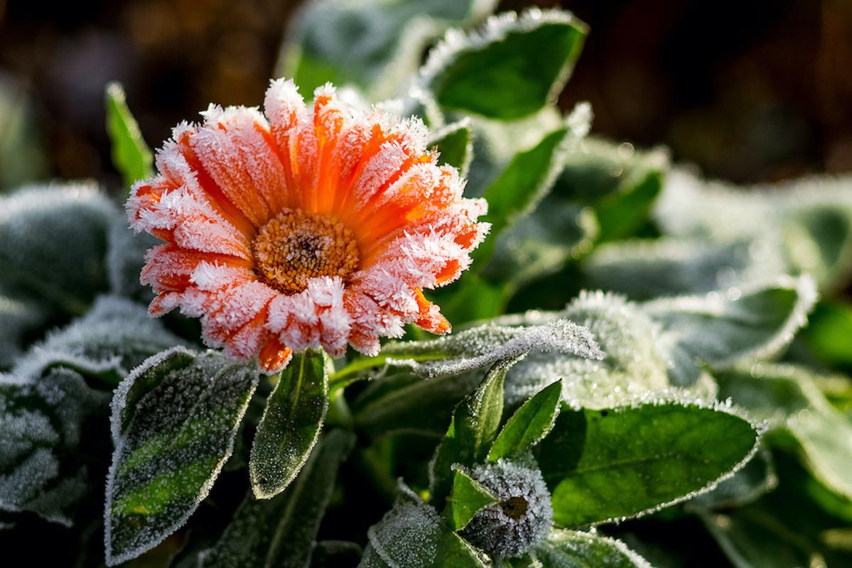 Die drei Eisheiligen bringen Frost in den Garten