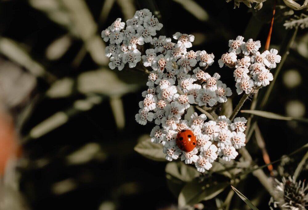 Siedeln Sie den Marienkäfer in Ihrem Garten an!